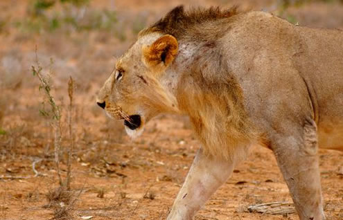 2 Days Mombasa Safari Package to Tsavo East