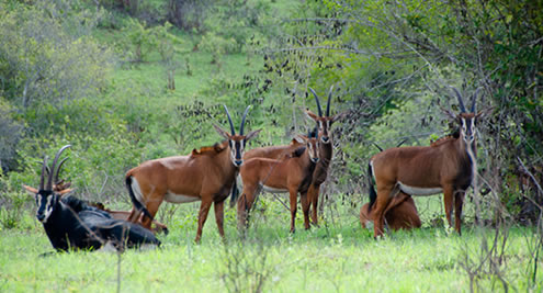 Shimba Hills Sable Antelopes
