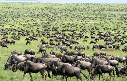 Masai Mara Wildebeest Crossing/Migration Safari